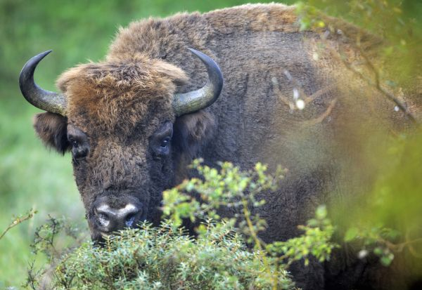 Bison - Rewilding europe